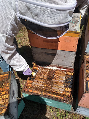 Beekeeper checking on hive of bees