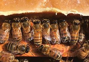 protein supplement bees